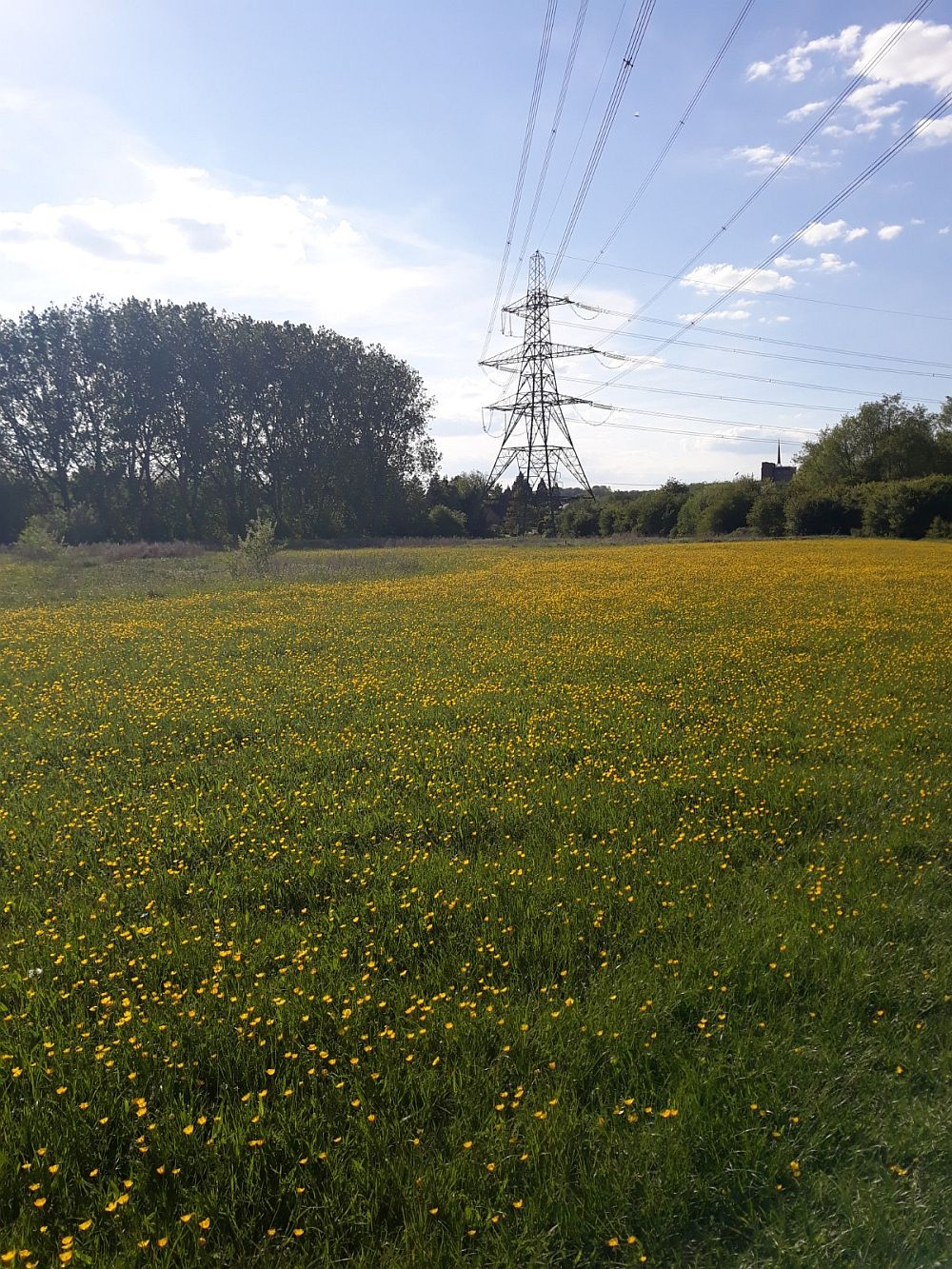 Sunshine on a field of buttercups