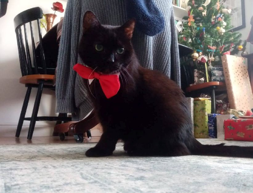 Black cat wearing a red bow tie and looking grumpy